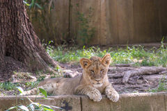 Lion Cub Laying Down im Gras Stockfoto