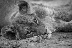 A Lion cub laying down and starring in black and white. A Lion cub laying down and starring at the camera in black and white in the Kruger National Park Stock Photo