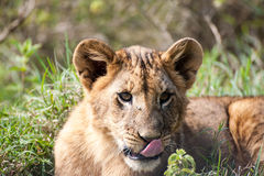 Lion Cub Laying in the Grass with his tongue out Stock Image
