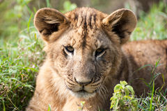 Lion Cub Laying in the Grass Royalty Free Stock Photos