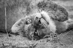 A Lion cub laying on his back and starring in black and white. A lion cub laying on his back and starring in black and white in the Kruger National Park, South stock photo