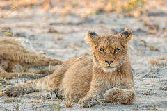 Lion cub laying in the sand and starring. Royalty Free Stock Images