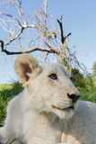 Lion cub lays between the grass. Stock Images