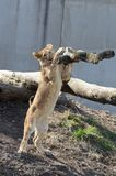 Lion cub leaning on tree Stock Photography