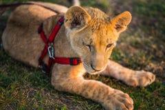 Lion cub on a leash Stock Photography