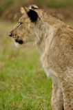 Lion cub left profile. Standing lion cub profile on green grass royalty free stock images
