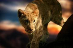 Lion Cub, Lion, Africa, Animal Royalty Free Stock Photo