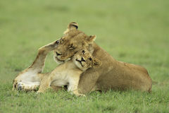 Lion cub and lioness royalty free stock photos