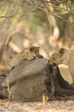 Lion cub and Lioness on African Elephant calf carcass. Lion cub and Lioness (Panthera leo) on African Elephant calf carcass, looking at camera Stock Image