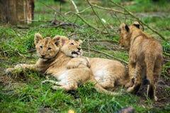Lion cub litter Stock Images