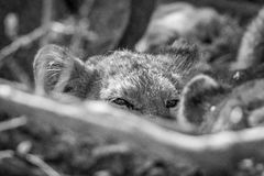 Lion cub looking over an other Lion in black and white. Lion cub looking over an other Lion in black and white in the Kruger National Park royalty free stock photos