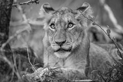 Lion cub looking up in black and white. Royalty Free Stock Photos