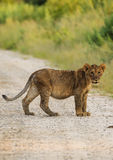 Lion cub looks closely at photographer from dusty road in Namibia, Africa Royalty Free Stock Image