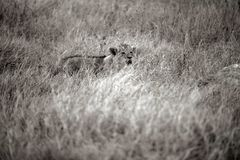 Lion cub lost in dry savannah royalty free stock photography