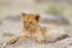 Lion Cub Lying Alone Between Rocks Stock Photo