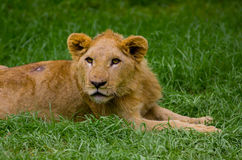 Lion cub lying alone in the grass Royalty Free Stock Image