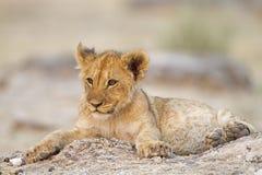 Lion cub lying alone between rocks. Etosha; Panthera leo stock photo