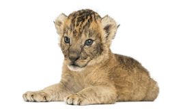 Lion cub lying, 16 days old, isolated. On white royalty free stock images