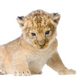 Lion Cub lying down Royalty Free Stock Image