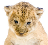 Lion Cub lying down Stock Image
