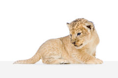 Lion Cub lying down Royalty Free Stock Photos