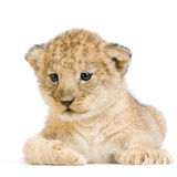 Lion Cub lying down Stock Photos