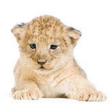 Lion Cub lying down Royalty Free Stock Images