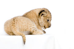 Lion Cub lying down Royalty Free Stock Photography