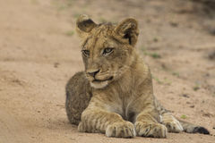 Lion cub lying down royalty free stock photo