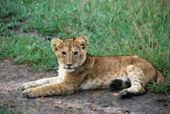 Lion cub lying on the ground. Facing the camera curiously Stock Image