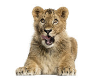 Lion cub lying and looking greedily Royalty Free Stock Photography