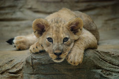 Lion cub. Lying and staring into camera stock image