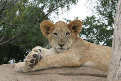 Lion cub lying in the sun. After a meal royalty free stock photos
