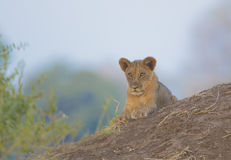 Lion cub lying on termite mound Stock Photo