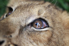 Lion Cub Macro. A macro shot of a lion cub's eye Stock Photo