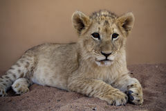 Lion cub at Mama Tao in Lephalale Royalty Free Stock Image