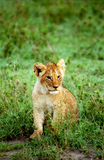 Lion cub, Masaai Mara Game Reserve, Kenya. Masaai Mara Game Reserve is one of the best place in all Africa to see big predators. This is a young cub playing Stock Photo