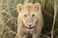 Lion Cub in Masai Mara, Kenya. Lion cub in the Masai Mara looking straight into the camera Stock Photo