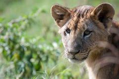 Lion Cub in Meer Nakuru royalty-vrije stock afbeeldingen