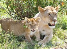 A lion cub and the mother resting near bush Royalty Free Stock Photos