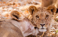 Lion cub and mother stock photography