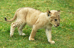 Lion cub moving. A seven weeks old cute lion cub walking in a game park in South Africa Stock Images
