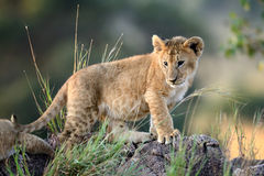Lion cub, National park of Kenya, Africa. African Lion cub, (Panthera leo), National park of Kenya, Africa Royalty Free Stock Image