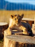 Lion cub in nature with blue sky and wooden log. eye contact Royalty Free Stock Photos
