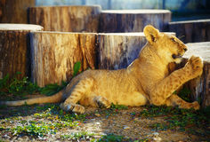 Lion cub in nature and sunny day. Royalty Free Stock Photography