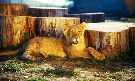Lion cub in nature and sunny day. Royalty Free Stock Images