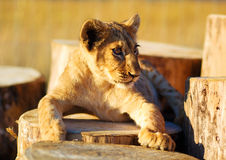 Lion cub in nature and wooden log . Royalty Free Stock Photo