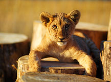 Lion cub in nature  and wooden log. eye contact Royalty Free Stock Images