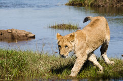 Lion cub near a river Royalty Free Stock Photos