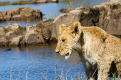 Lion cub near the Zambezi River Stock Photo